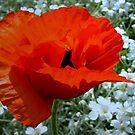 Poppy in a  Red Dress by ienemien