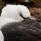 Black browed Albatross by Terry Mooney