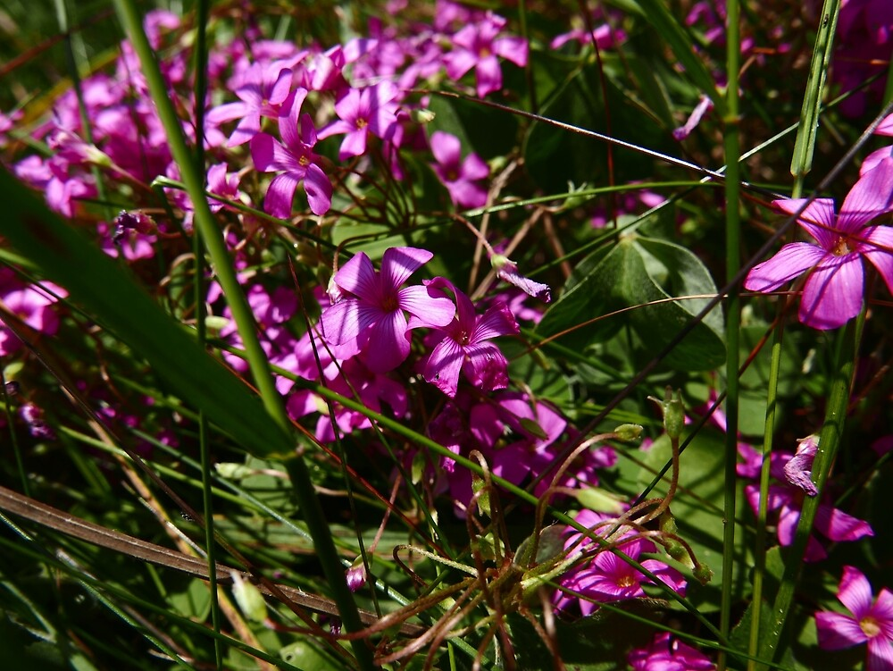 Pink-Sorrel (Oxalis articulata) by IOMWildFlowers