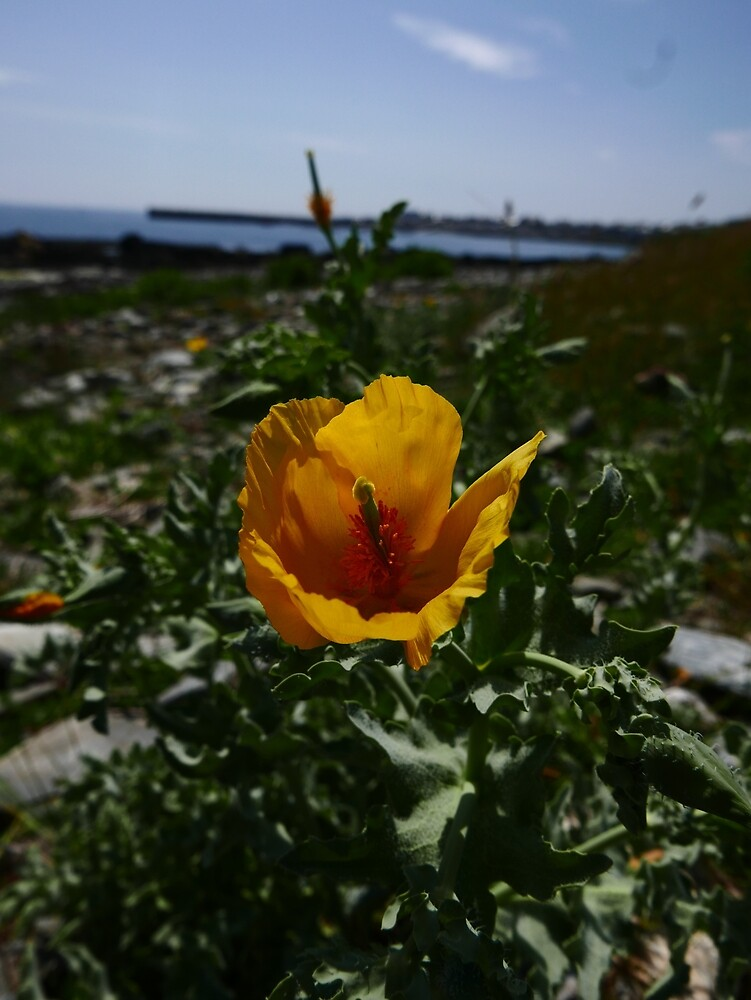 Yellow Horned Poppy (Glaucium flavum) by IOMWildFlowers