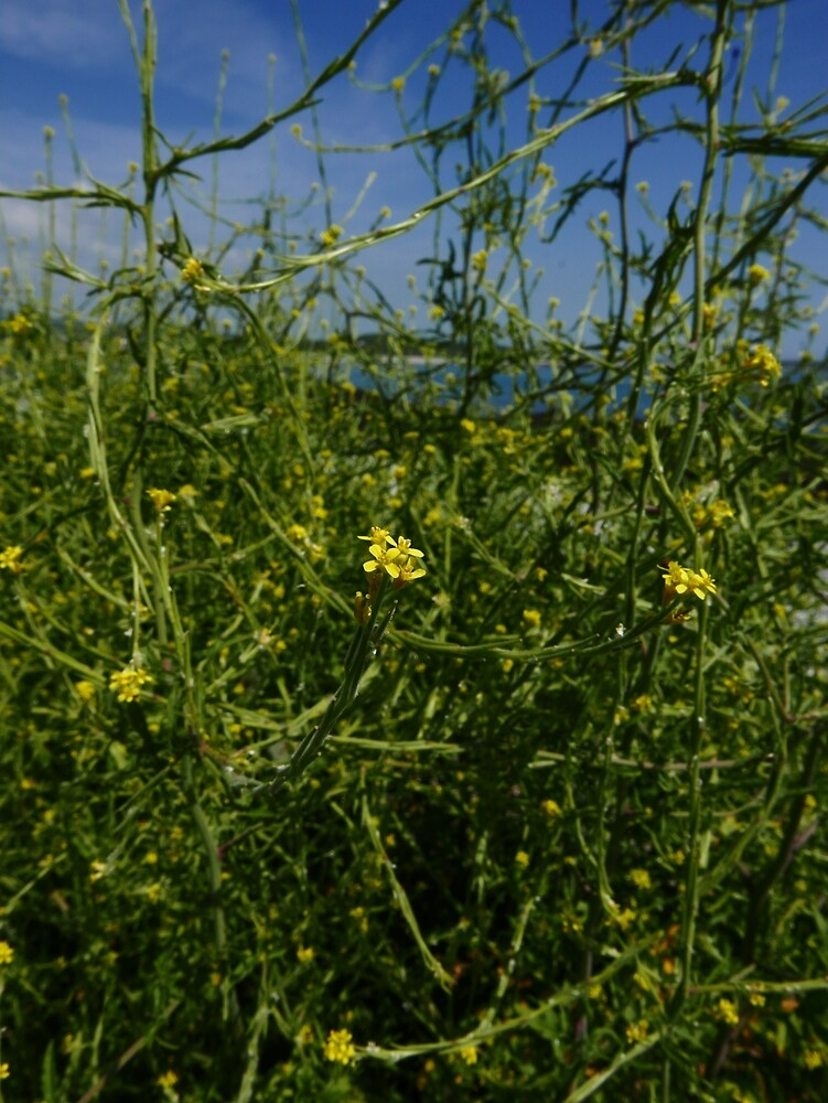 Hedge Mustard (Sisymbrium officinale) by IOMWildFlowers