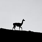 Guanaco Silhouette by Terry Mooney