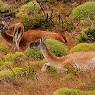 A Guanaco family by Terry Mooney