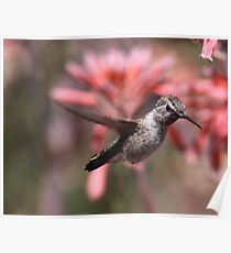 Anna's Hummingbird at Bolsa Chica Wetlands Poster