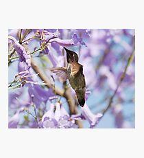 Hummingbird Visits the Jacaranda Photographic Print