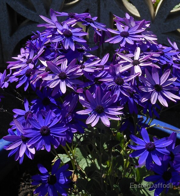Sunkissed Cinerarias by EasterDaffodil