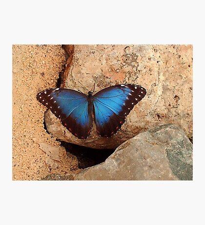 Blue Morpho  Photographic Print