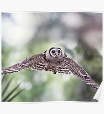 Young Barred Owl flying in Florida woods Poster