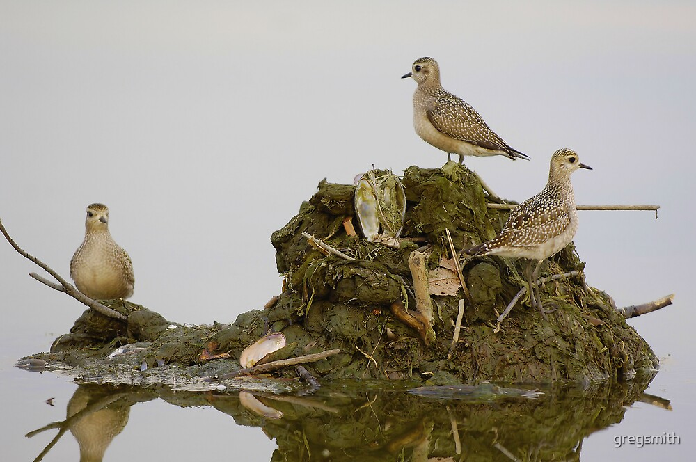 american golden plovers by gregsmith