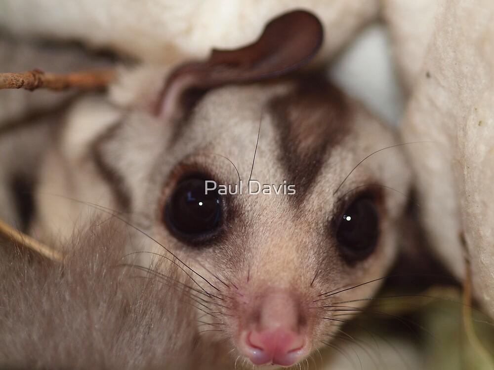 Squirrel Gliders - Bat Reach Centre - Kuranda - Queensland - Australia by Paul Davis