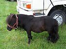Tiny Tim .. the shetland pony by LoneAngel
