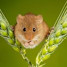 Harvest Mouse On Barley Crop by Miles Herbert