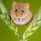 Cute Animal Harvest Mouse sitting on Barley by Miles Herbert