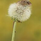 Harvest Mouse Mice On A Dandelion Clock by Miles Herbert