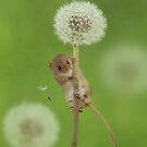 Harvest Mouse on a dandelion by Miles Herbert by Miles Herbert