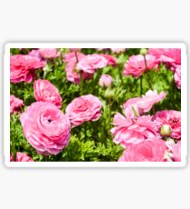 A field of pink cultivated Buttercup (Ranunculus) flowers Sticker