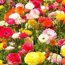 A field of multicolor cultivated Buttercup (Ranunculus) flowers  by PhotoStock-Isra