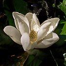 Sweet Magnolia Blossom by Terri Chandler