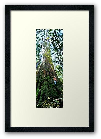 Mountain Ash (Eucalyptus regnans) by Ern Mainka