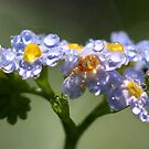 Forget-Me-Not with Tears by Jo Nijenhuis