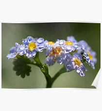 Forget-Me-Not with Tears Poster