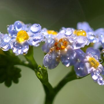 Forget-Me-Not with Tears by Jokus