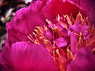 In Flames (Peony) by Aaron Campbell