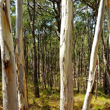 Summer gums - Sinclair's Gully, Norton Summit, Adelaide Hills by ChateauGlenunga