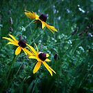 Black Eyed Susans by Colleen Drew