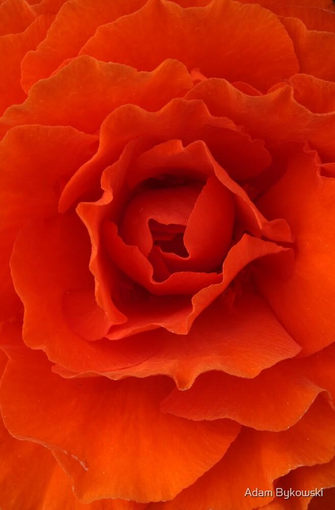 Orange Red Begonia by Adam Bykowski