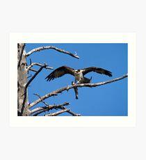 Success - An Osprey Feeding Art Print