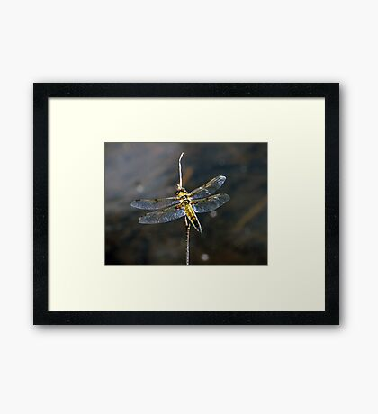 Goldie Framed Print