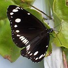 Black and White Butterfly by Erica Long