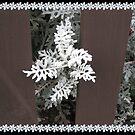 Dusty Miller - Ein hübscher weißer Busch von BlueMoonRose