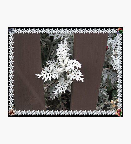 Dusty Miller - Ein hübscher weißer Busch Fotodruck