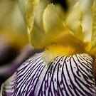 Golden Zebra Iris Marco  by Gypsykiss