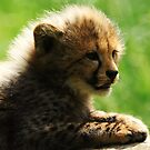 Cheetah cub by Alan Mattison
