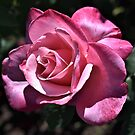Pink Rose by Len Bomba