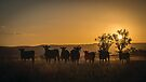 Sunset Heifers by Candice O'Neill