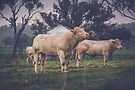 The Charolais by Candice O'Neill