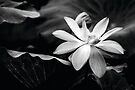 Water Lily BW by Candice O'Neill