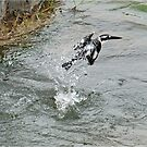 AFTER THE PLUNGE DIVE - PIED KING FISHER – Ceryle - rudis by Magriet Meintjes