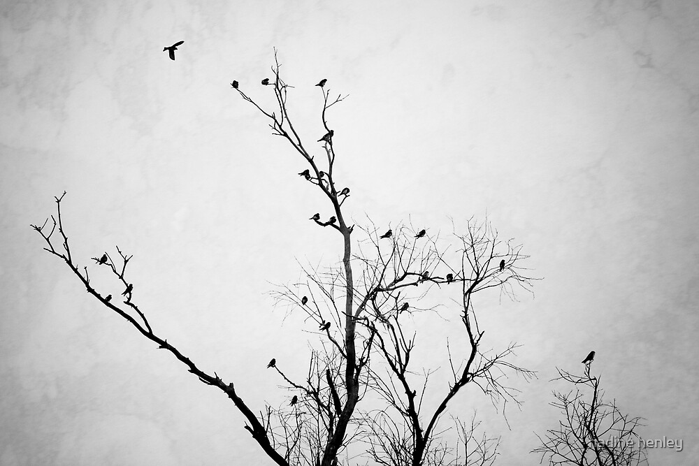 Roosting Swifts at Bindoon by nadine henley