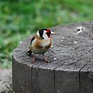 Goldfinch by dougie1