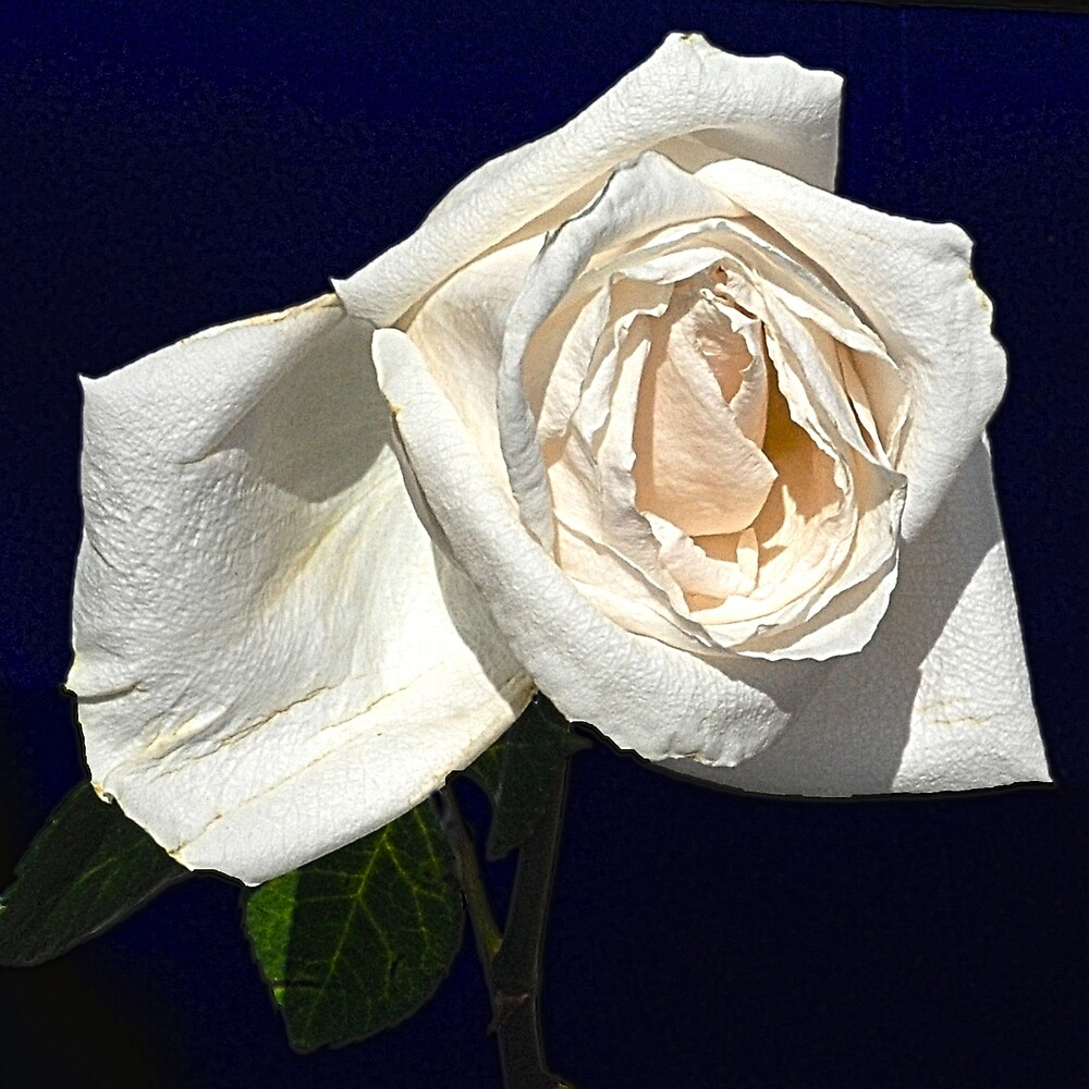 THE LAST WHITE ROSE by Thomas Barker-Detwiler