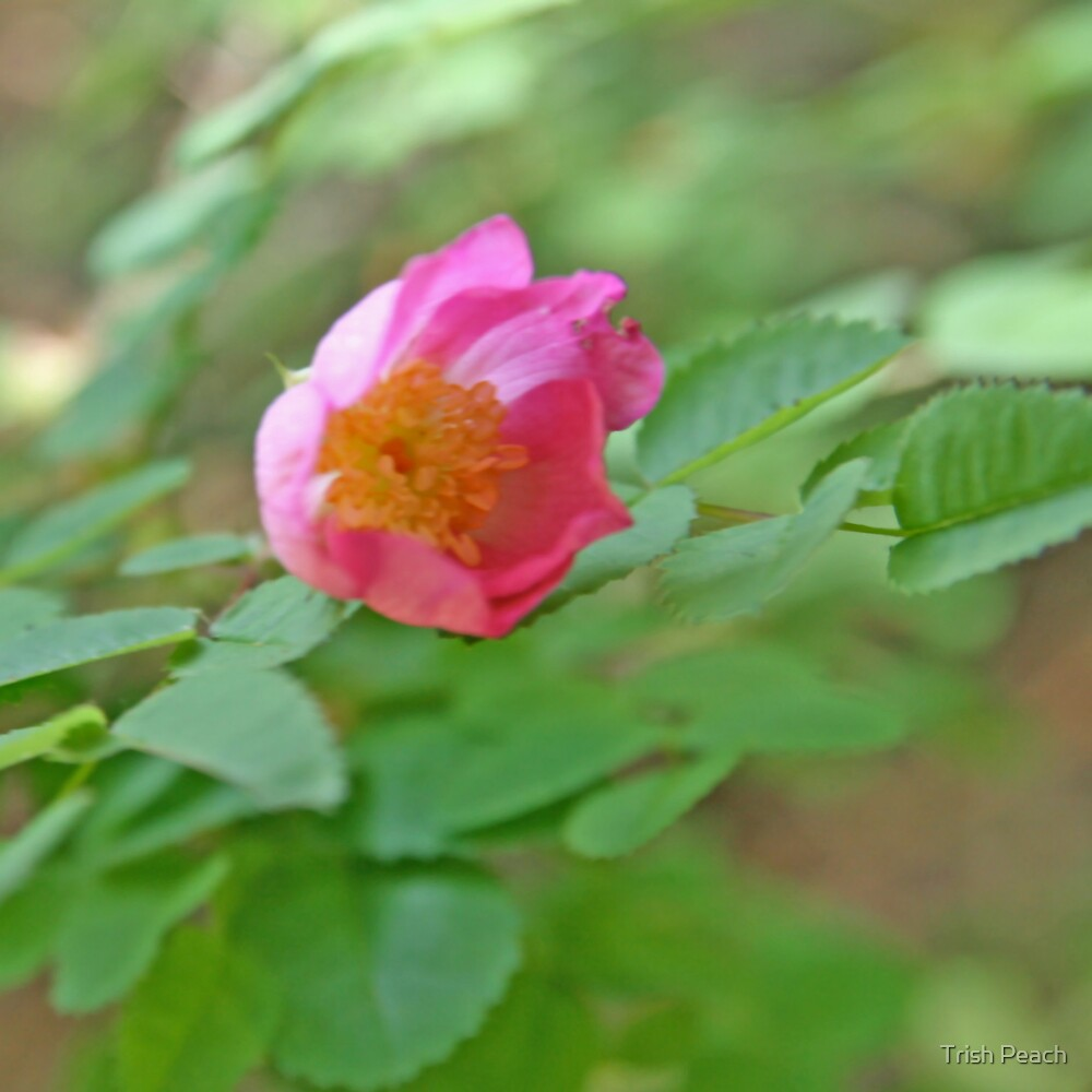 Wild Rose of California by Trish Peach