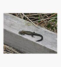 British Lizard Photographic Print