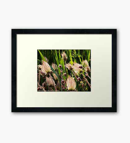 Wildflowers (Prairie Smoke) Framed Print