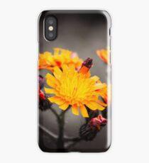 Pilosella aurantiaca - Fox-and-cubs iPhone Case