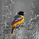 Baltimore Oriole Selective Coloring by Vickie Emms